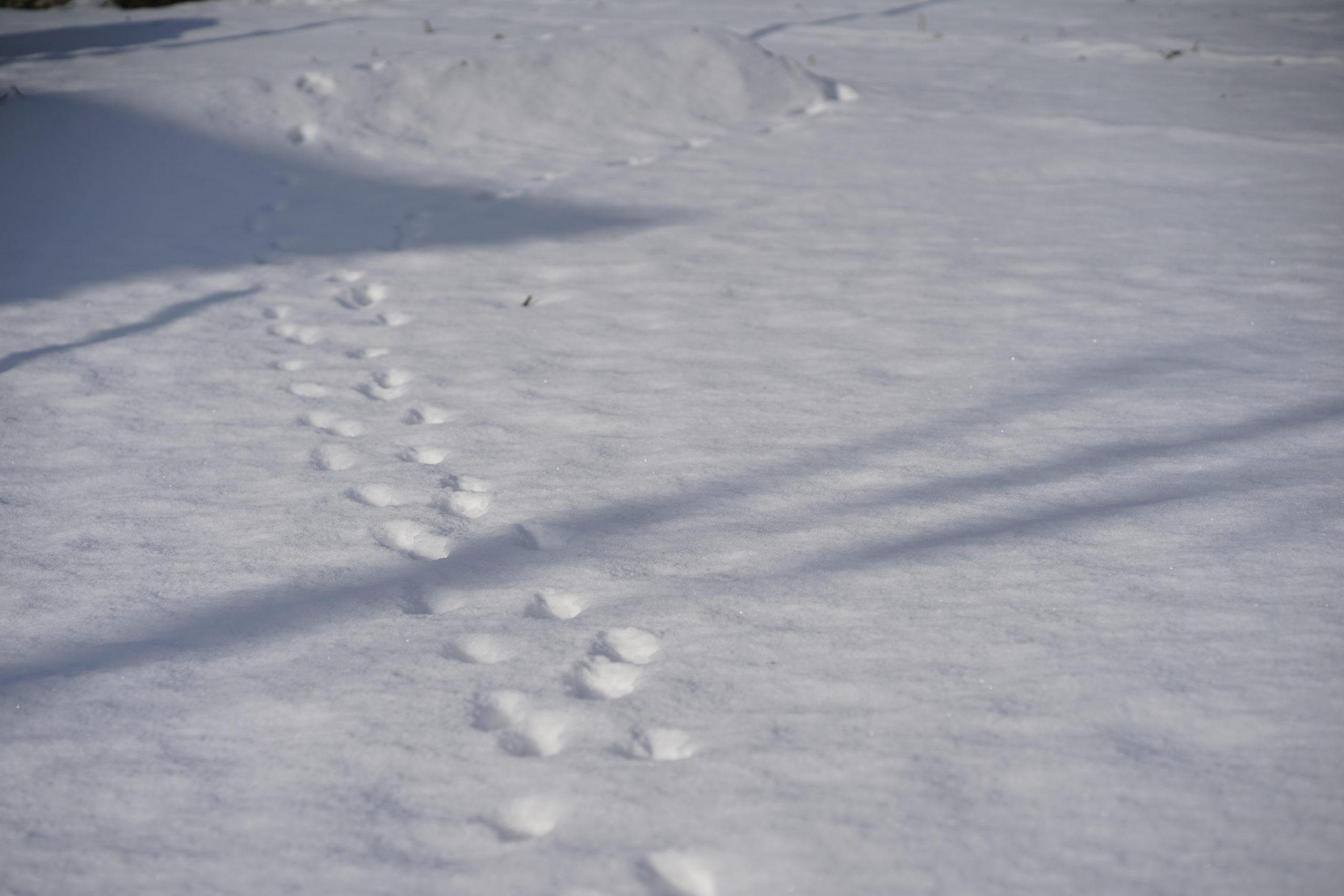 きつねの足跡